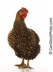 goldenes, geschnürt, wyandotte, chicken.