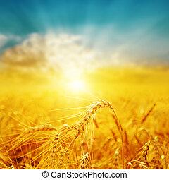 goldenes, guten, aus, Fokus, Feld, Sonnenuntergang, Ernte, weich