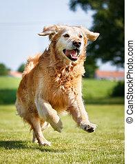 goldenes, hund, apportierhund