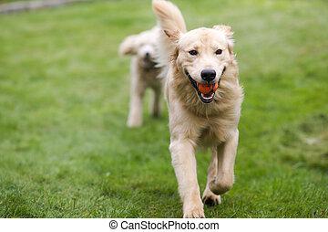 goldenes, hund, franzoesischer pudel, hunden, retreiver, ...