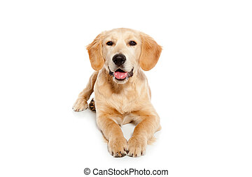 goldenes, hund, freigestellt, weißes, junger hund, ...