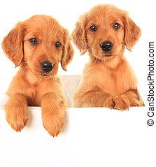 goldenes, irisch, hundebabys
