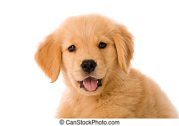 goldenes, junger hund, apportierhund