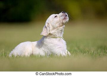 goldenes, junger Hund, Bellen, Apportierhund