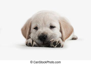 goldenes, junger hund, -, hund, apportierhund