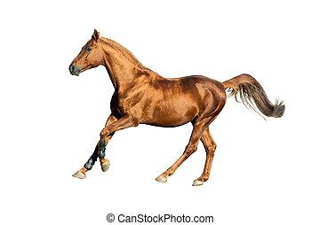 goldenes, kastanie, pferd, freigestellt