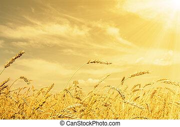 goldenes, ohren, blank, weizen, unter