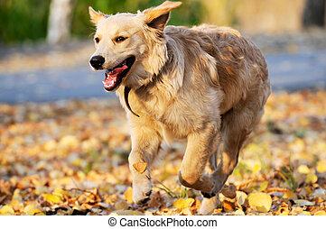 goldenes, rennender , apportierhund