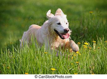 goldenes, rennender , hund, apportierhund