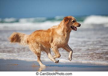 goldenes, rennender , sandstrand, junger, apportierhund
