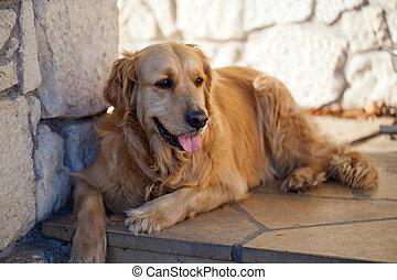 goldenes, schöne , apportierhund