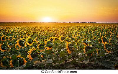 goldenes, sonnenblume, zusammengesetzt, felder, aus, gelbes feld, digital, während, sunset., sonnenaufgang, sunflowers.