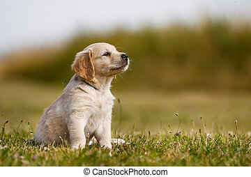 goldenes, weißes, junger Hund, Apportierhund