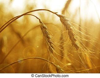 goldenes, weizen, Ohren