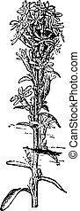 Goldenrod or Solidago sp., vintage engraving - Goldenrod or...