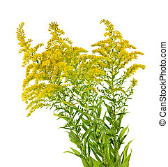 Goldenrod plant - Blooming goldenrod plant isolated on white...