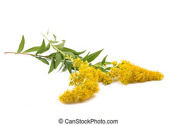 Goldenrods (Solidago gigantea) flowers isolated on white