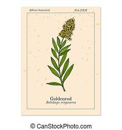 Goldenrod Solidago virgaurea , or Woundwort, medicinal...
