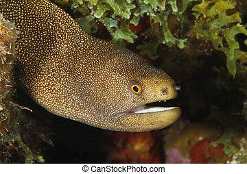 Goldentail Moray - Bonaire - Goldentail Moray (Gymnothorax ...