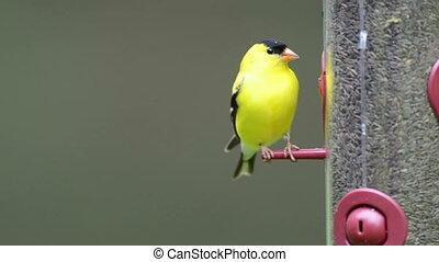 Goldfinch at a feeder