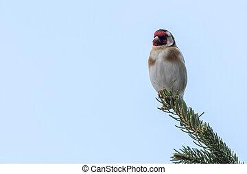 goldfinch carduelis bird