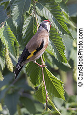 goldfinch carduelis bird