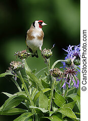 Goldfinch, Carduelis carduelis, bird on cornflower in...