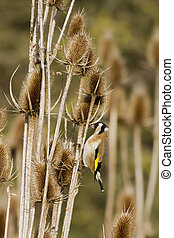 Goldfinch (Carduelis-carduelis) feeding on thistle seed