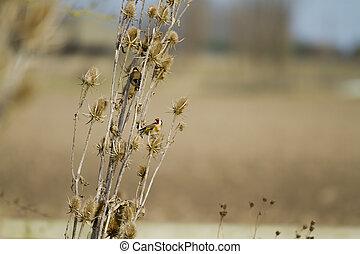 Goldfinch (Carduelis-carduelis) feeding on thistle seed