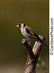 Goldfinch (Carduelis carduelis) - Goldfinch (cadruelis...