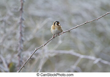 Goldfinch (Carduelis-carduelis) perched on a branch with...