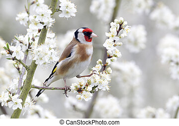 Goldfinch, Carduelis carduelis, single bird on blossom,...