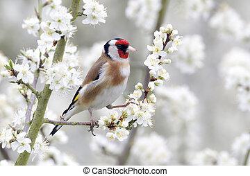 Goldfinch, Carduelis carduelis, single bird on blossom, Warwickshire, April 2012