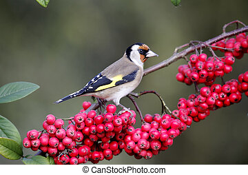 Goldfinch, Carduelis carduelis, single bird on red berries...