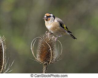 Goldfinch, Carduelis carduelis, Single bird on teasel,...