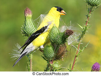 Hungry male Goldfinch on a thistle plant eating seeds