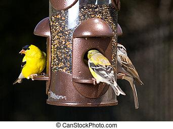 Goldfinch eating from bird feeder - Bright yellow goldfinch...