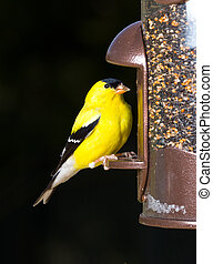 Bright yellow goldfinch eating from the opening in a modern bird feeder with very dark out of focus background