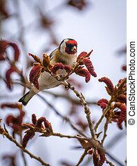 Goldfinch feeding on seeds