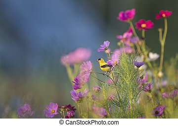An American Goldfinch perches in the middle of a garden of flowers as the rising sun shines on the bright yellow bird.
