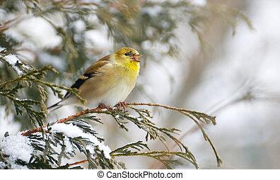Goldfinch in winter singing.
