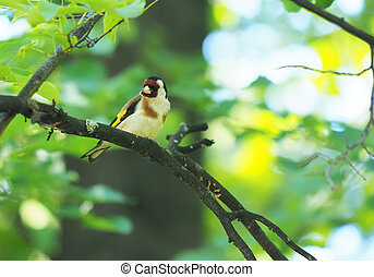 Goldfinch on a branch in the forest