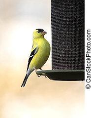 Goldfinch On A Feeder