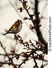 Goldfinch on a tree branch