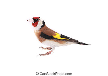 goldfinch on a white background