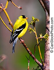 Goldfinch Perched in High Dynamic Range - A beautiful...