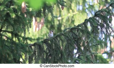 Goldfinch sits on a spruce branch