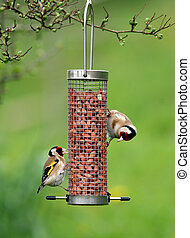 Goldfinches Feeding - Two goldfinches in spring, feeding ...