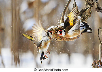 goldfinches fight in the winter for sunflower