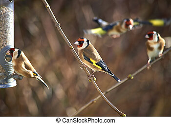 Goldfinches waiting for feeder